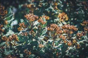 frutti e foglie sempreverdi di un arbusto di rosa canina foto