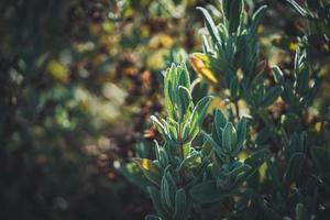 foglie sempreverdi di un arbusto di rosa canina foto