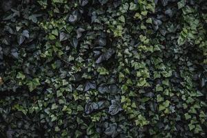 foglie sempreverdi di edera rampicante foto