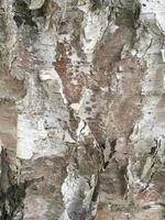 primo piano della corteccia di betulla foto