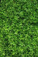 verticale del fondo della parete frondosa verde naturale foto