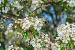 fiore di mandorlo con ape foto