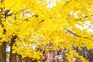 albero di ginkgo giallo foto