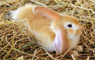 coniglio marrone chiaro foto