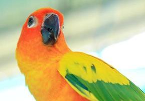 primo piano di un pappagallo conuro del sole foto