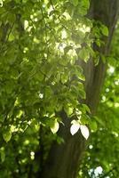 bella vista rilassata di foglie verdi su un ramo di un albero contro il sole foto