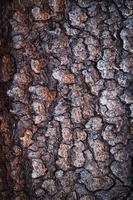 struttura della corteccia di albero di abete rosso foto