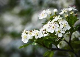 fiori bianchi di biancospino foto