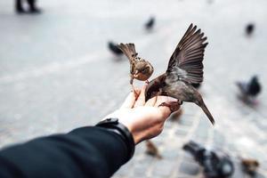 il passero mangia dalla mano foto