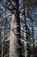 alberi secchi nel bosco foto