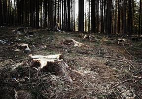 radura nella foresta di abeti rossi foto