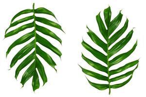 foglie di palma tropicale su uno sfondo bianco foto
