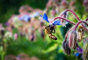 ape su un fiore di borragine blu foto