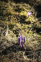 fiori di zafferano in fiore foto