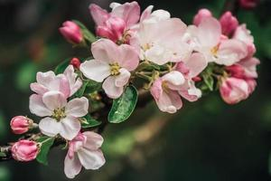 primo piano di un ramo di un albero di mele in fiore foto