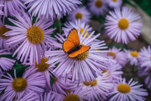 vibrante farfalla arancione seduto su fiori di aster rosa foto