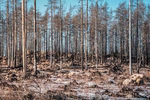 rimanenti alberi morti da una foresta devastata da un incendio boschivo foto