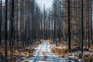 rimanenti alberi morti in una foresta devastata dal fuoco foto