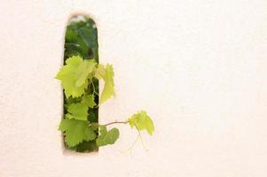 foglie di vite che decorano la parete all'aperto, sporgenti dal buco foto