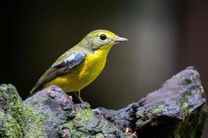 uccello pigliamosche dal dorso verde su ramoscelli con sfondo scuro foto