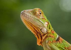primo piano dell'iguana verde foto