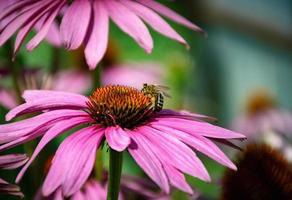 ape su un fiore di echinacea foto