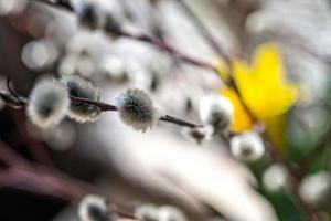 ramo di salice fiorito foto