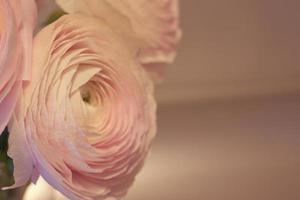 fiori di ranuncolo rosa si chiudono con uno sfondo sfocato foto