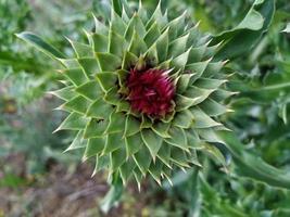 fiore di cardo nel campo foto