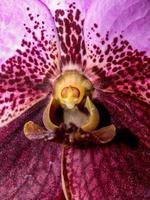 primo piano di un'orchidea viola foto