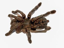 vista dall'alto di un ragno tarantola foto