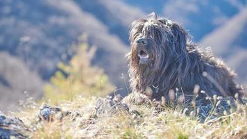 cane pastore bergamasco sdraiato foto