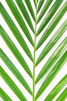 foglia di palma isolato su sfondo bianco foto
