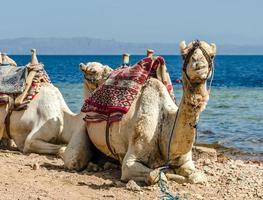 cammelli che riposano in riva al mare foto