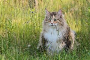 femmina gatto norvegese delle foreste seduto sull'erba alta in estate foto