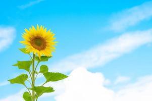girasole su sfondo blu cielo con nuvole foto
