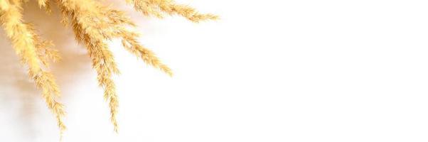 erba di pampa isolato su sfondo bianco foto