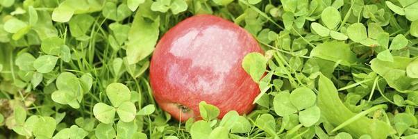 mela lucida matura rossa sull'erba verde foto