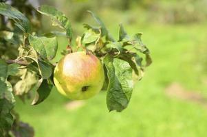 mele su un ramo di un albero di mele in giardino sullo sfondo del cielo foto