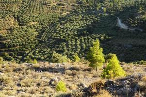 campi con piantagioni di ulivi nelle montagne dell'isola di creta foto