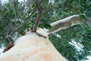 albero di eucalipto e rami, vista dal basso foto