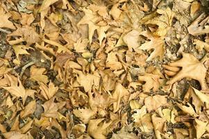 sfondo con texture di secche appassite cadute foglie di autunno di alberi di acero foto