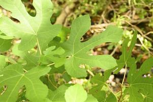 foglie di fico selvatico verde nella foresta pluviale con raggi di sole foto