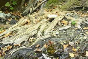 radici nude di alberi che crescono in scogliere rocciose tra pietre e acqua in autunno foto