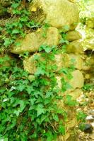 edera su un vecchio muro di pietra nella giornata di sole estivo foto