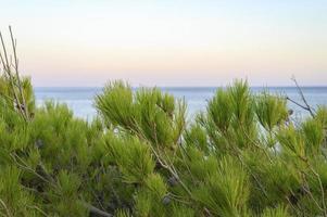 rami di un albero di pino e un orizzonte sfocato del paesaggio marino al tramonto foto