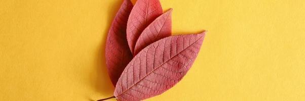 diverse foglie di ciliegio autunno rosso caduto su uno sfondo di carta gialla laici piatta foto