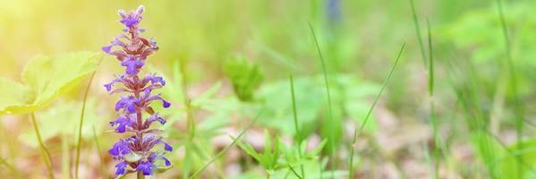ajuga reptans con fiori viola blu in piena fioritura con erbe di prato foto