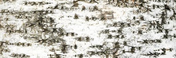 priorità bassa dell'albero di corteccia di betulla foto