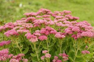 fiori che sbocciano rosa nel giardino foto
